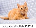 cute red cat   Shutterstock . vector #1016505931