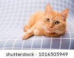 cute red cat   Shutterstock . vector #1016505949