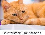 cute red cat   Shutterstock . vector #1016505955