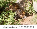 the spotted hyena  crocuta... | Shutterstock . vector #1016521219