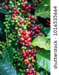 close up fresh ripe coffee... | Shutterstock . vector #1016535664