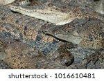 saltwater crocodile farm ... | Shutterstock . vector #1016610481