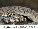 saltwater crocodile farm ... | Shutterstock . vector #1016610949