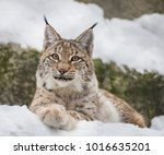 Baby Lynx. Lynx Live In Dense...