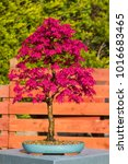 Small photo of A specimen Deshojo Acer Palmatum informal upright bonsai with vibrant spring colour in a decorative glazed oval pot