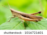 macro photograpy. grasshopper... | Shutterstock . vector #1016721601