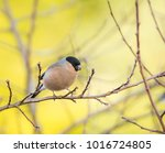 female eurasian bullfinch bird... | Shutterstock . vector #1016724805