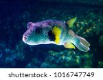 exotic fish at la rochelle | Shutterstock . vector #1016747749