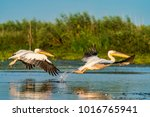 pelican flying over water at... | Shutterstock . vector #1016765941