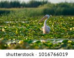 pelican in the danube delta ... | Shutterstock . vector #1016766019