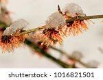 hamamelis virginiania blooming... | Shutterstock . vector #1016821501