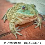 huge toad found along the... | Shutterstock . vector #1016833141