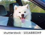White Dog Samoyed Sitting In...