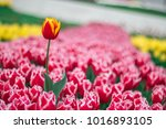 Tulip Background. Red Flower...