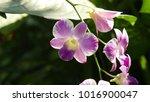close up purple orchids bouquet ... | Shutterstock . vector #1016900047