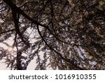 branchs of softwoods in nature  ... | Shutterstock . vector #1016910355