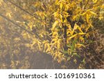 bush with small yellow flowers... | Shutterstock . vector #1016910361