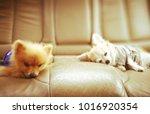 Chihuahua And Pomeranian Dogs...