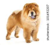 Stock photo chines chow chow dog isolated on a white background 101692207