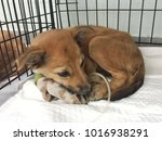 Small photo of cute brown puppy dog get sick and has diarrhea and vomit, admit in veterinarian hospital