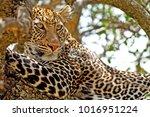 Wild Leopard In The Masai Mara...