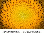 Close Up Sunflower Sunflowers...