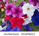 Petunia  Flowers Closeup ...