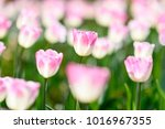 amazing nature concept of white ... | Shutterstock . vector #1016967355