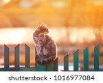 Stock photo young beautiful cat sits in the village of on the fence evening during sunset 1016977084
