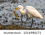 cattle egret catching a fish at ... | Shutterstock . vector #1016980171