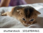 Stock photo the kitten of the abyssinian breed lies on a white blanket 1016984461