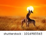 group of giraffes against... | Shutterstock . vector #1016985565