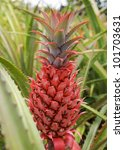 A Red Pineapple Growing At The...