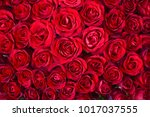 natural red roses background | Shutterstock . vector #1017037555