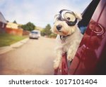 Stock photo west highland white terrier with goggles on riding in a car with the window down through an urban 1017101404