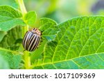 colorado potato beetle eats...   Shutterstock . vector #1017109369