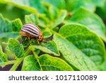 colorado beetle eats green...   Shutterstock . vector #1017110089