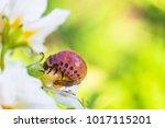 red larva of colorado potato...   Shutterstock . vector #1017115201