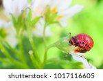 red larva of colorado potato...   Shutterstock . vector #1017116605