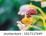 red larva of colorado potato...   Shutterstock . vector #1017117649