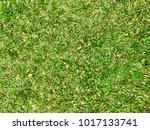 fresh green grass with dry leafs | Shutterstock . vector #1017133741
