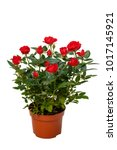 Red Decorative Roses In...
