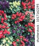 salvia splenden   scarlet sage... | Shutterstock . vector #1017162295