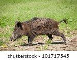 Wild pig - stock photo