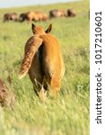 Horse Foal On Pasture. Colt...