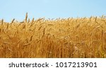 golden colors of field of ripe...   Shutterstock . vector #1017213901