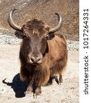 Small photo of Brown Yak on the way to Everest base camp - Nepal Himalayas