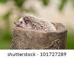 Hedgehog on the stump - stock photo
