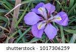 Small photo of Algerian Iris in a garden closeup 1.