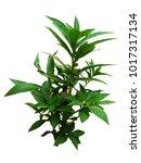 garden balsam plant on white...   Shutterstock . vector #1017317134